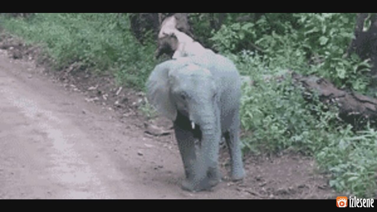 Elephant birth gif