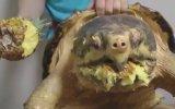 Tek Isırıkla Ananası Yiyen Kaplumbağa