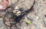 Tayvan'da Görülen İlginç Böceğimsi