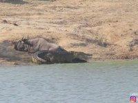 Antilobu Timsaha Yedirmeyen Kahraman Hipopotam