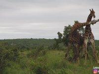 Boks Maçını Andıran Zürafa Kavgası