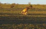 Sevişen Aslanlara Müdahalede Bulunan Gergedan