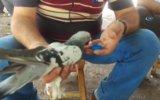 Yüreği Güzel İnsanın Susuz Kalan Güvercine Elleriyle Su İçirmesi
