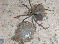 Örümcek Yavrularını Tükürüğüyle Dağıtan Denyo