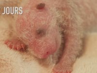Yeni Doğan Pandanın İlk 30 Günlük Yaşam Serüveni