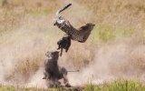 Domuzun Yavrusunu Kurtarmak İçin Çitaya Saldırması