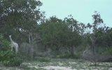 Kenya'da Görülen Beyaz Zürafa