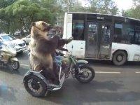 Motosiklet Üzerinde Hareket Çeken Ayı - Rusya