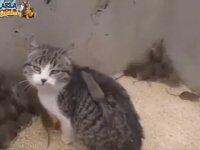 Sinirleri Alınmış Fare Dostu Gamsız Kedi