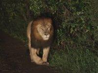 Etiyopya Aslanının Doğada İlk Kez Görüntülenmesi