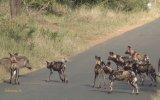 Yavru Domuzun Afrika Köpeklerine Karşı Koyması