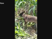 Köpeği Tarlada Irgat Olarak Kullanmak