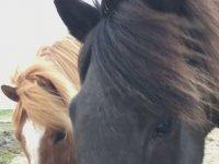 İzlanda'nın Aşırı Dost Canlısı Vahşi Atları