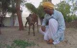 Sığır Sürüsüyle Yaşamak İçin Ailesini Terk Eden Adam