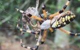 Muz Örümceğinin Kurbağayı Paket Yapması