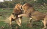 Erkek Aslanların Dişi İçin Kavga Etmesi