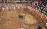Domuz ve Köpeği Dövüştürmek  Endonezya