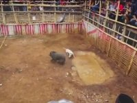 Domuz ve Köpeği Dövüştürmek - Endonezya