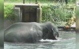 Kanala Düşen Filin Köylüler Tarafından Kurtarılması
