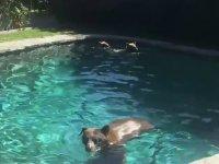 Havuza Girmek İçin Dağdan Aşağıya İnen Ayı Ailesi