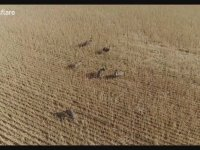Emuların Drone Görüntüsü - Avustralya