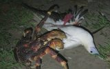 Sümsük Kuşunu Avlayan Dev Yengeç