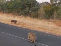 Domuzu Gafil Avlayan Aslanlar