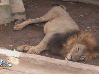 Hayvanat Bahçesinde Aç Kalan Aslanın Hâli
