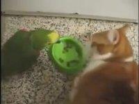 Mama Yiyen Kedinin Kulağına Geğiren Papağan