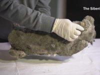 Rusya'da Bulunan 50.000 Yıllık Donmuş Mağara Aslanı Yavrusu