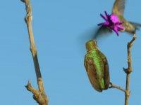 Cazibe Dansı Yapan Sinek Kuşu