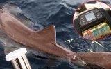 Oltayla 326 Kiloluk Köpek Balığının Yakalanması  Antalya