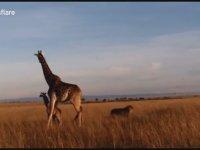 Yavrusunu Korumak İsterken Aslana Yem Eden Anne Zürafa