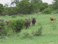 Tek Başına Bufalo Ordusuna Saldıran Aslan