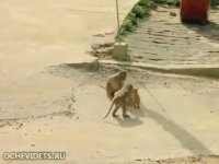 Garip Kediye Hallenen Gamsız Maymun Çetesi
