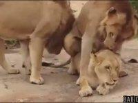 Dişi Aslanın Üzerinden Erkek Aslanların Tren Gibi Geçmesi