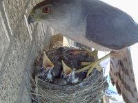 Yuvadan Yavru Kuşları Kaçıran Şahin