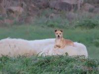 Keyifçi Çoban Köpeği