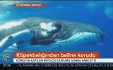 Dalgıcı Köpek Balığından Koruyan Balina