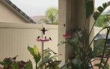 Kamera Görünce Tavır Yapan Sinek Kuşu