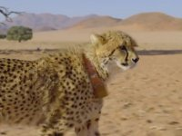 Çita'dan Nasıl Kaçılır?