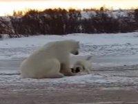 Kutup Ayısının Köpekle Oyun Oynaması - Kanada