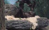 Yavrusuna Uçan Oyunu Oynatan Anne Bonobo