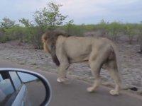 Aslanın Fazla İçli Dışlı Olan Turiste Haddini Bildirmesi