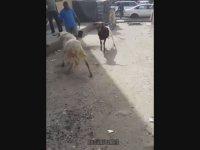 Sokak Dövüşü Havasında Keçi Dövüşü (KO İçerir)
