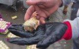 Çöpe Atılan Yumurtalardan Civciv Çıkması