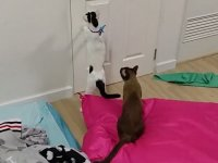 Kedinin Muhteşem Kapı Açma Tekniği