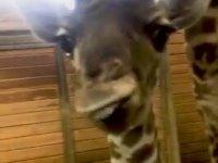 Çocuğunun Rızkını Yiyen Anne Zürafa