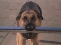 Çocuğun hayatını Kurtaran Süper Köpek Max