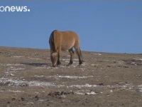 Soyu Tükendi Sanılan Takhi Atlarının Moğolistan'da Tekrar Görülmesi